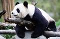 南航紧急调用专机拯救四川卧龙保护区大熊猫