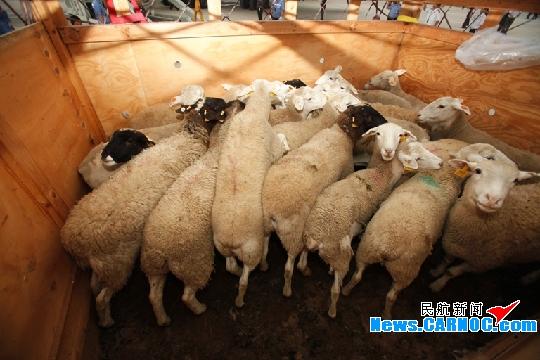 """千余只澳洲种羊搭乘波音B747""""入赘""""内蒙古"""