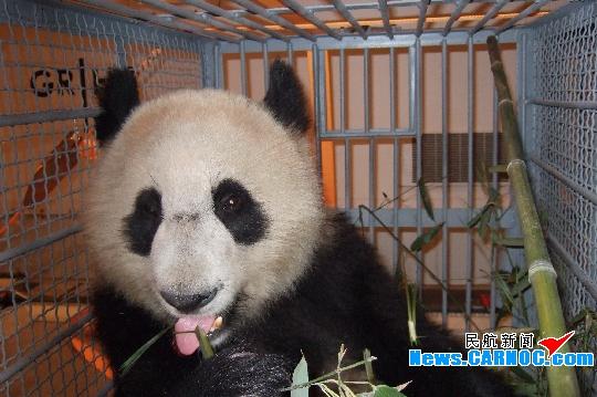"""标志着出生在美国圣地亚哥动物园的两只大熊猫3岁""""珍珍""""和5岁""""苏琳"""""""