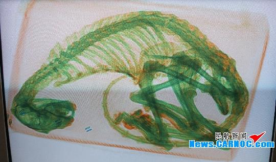 民航资源网2011年10月21日消息:2011年10月20日06:30左右,中国东方航空股份有限公司(China Eastern Airlines Corporation Limited,简称东航)甘肃保卫部货邮安检员对邮局发往广州的邮件进行检查时,发现有一可疑包裹,在X光机图像中显示为某动物的骨架,货检员随报兰州市公安局森林分局。公安人员大约于11:20到达工作现场,经他们多方确定,判定为可疑的雪豹骨架。我国将雪豹定为国家珍贵濒危灭绝的一极保护动物,严禁捕猎。随后,货检员将此邮件(1/9KG)移交