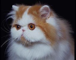 布鲁塞尔航空禁止游客携带脸部扁平狗猫登机