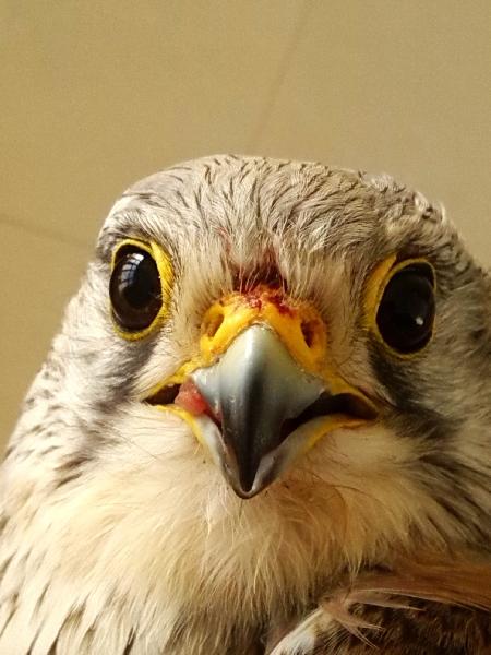 塔城机场解救国家二级保护鸟类