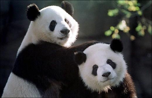不要低空飞越动物园!罕见航行通告为熊猫保胎