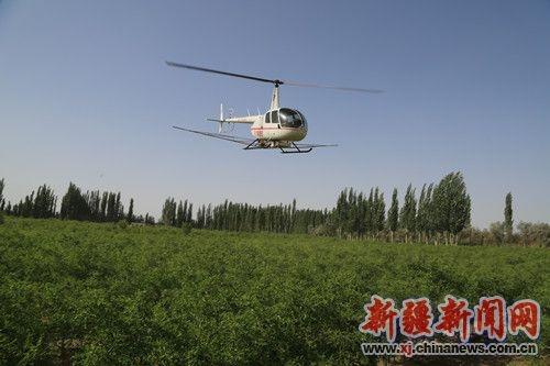 新疆且末首次使用直升机喷洒农药防治病虫害