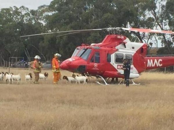 澳洲救援直升机停错地方 遭大力公羊围攻撞坏
