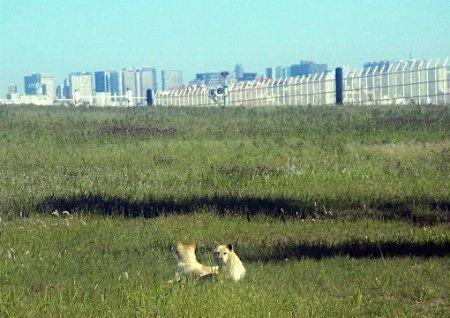 四只狗闯入日本羽田机场被捕 曾致多个航班延误