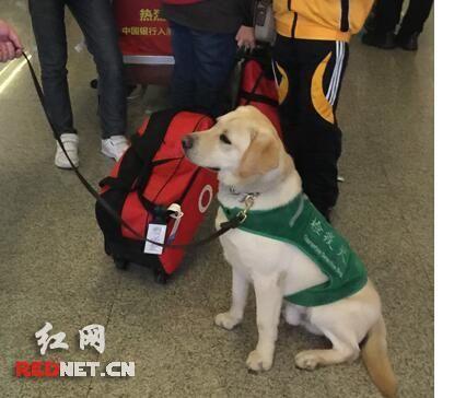 为它点赞!机场小萌犬嗅出问题行李坐地示警