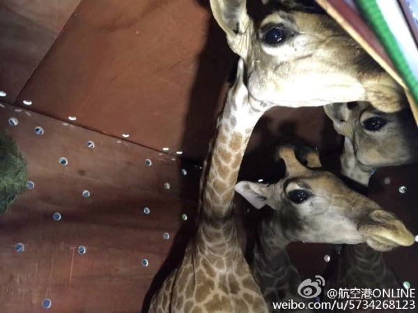 """波音747护送63头南非""""长颈鹿""""到访郑州"""