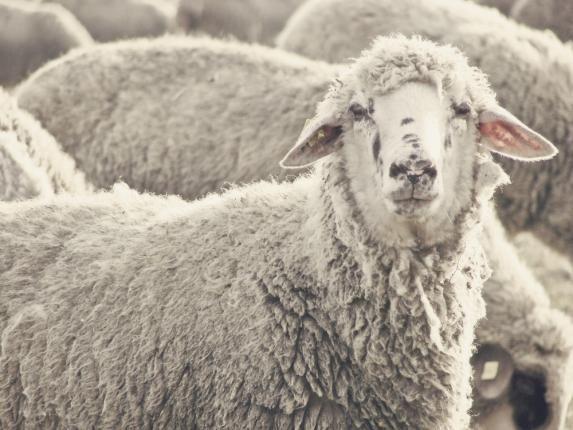惨!121只绵羊在飞新加坡航班途中窒息而死