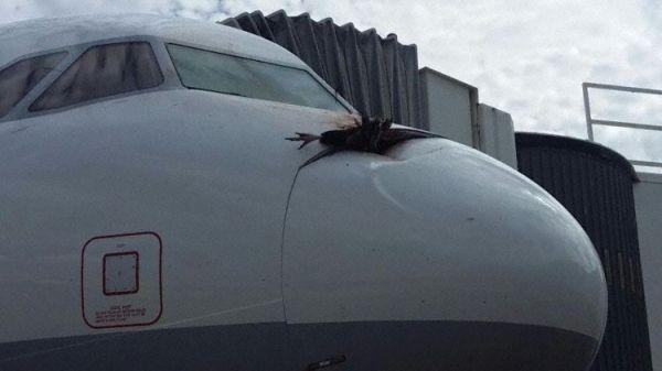 又一只秃鹰撞击飞机嵌入雷达罩 好惨!