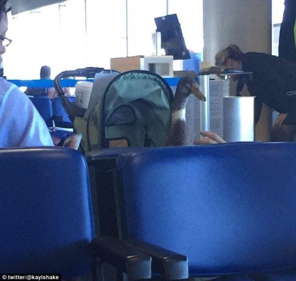 你猜我飞机上看到啥一只穿尿不湿印度跑鸭