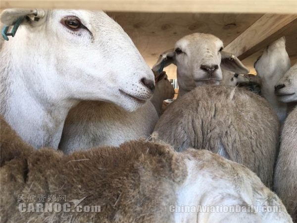 1500头原种羊搭乘747-400F全货机抵达兰州