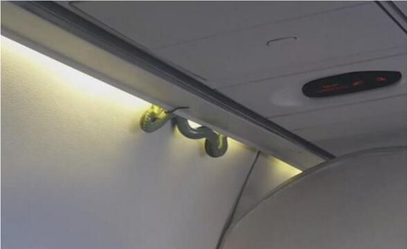 飞机舱顶盘着一条1.5米大蟒蛇!吓坏全机乘客