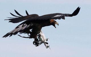 猛禽再出动!法国训练金雕部队大战无人机