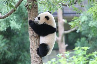 联邦快递被赋予重任 负责运送旅美熊猫归国