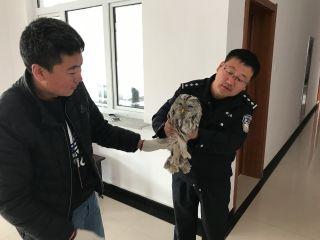 阿尔山机场救护国家级野生动物猫头鹰