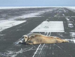 哥们儿起来了!海豹惊现美国最北部机场跑道