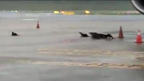 视频:水獭一家组团观光樟宜机场
