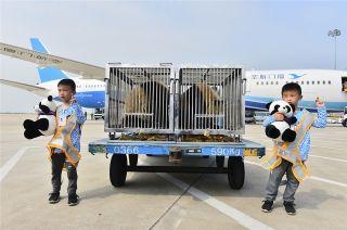 """双胞胎大熊猫乘坐厦航""""专机""""空降鹭岛"""