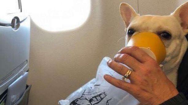 暖心!捷蓝机组人员用氧气面罩拯救法国斗牛犬