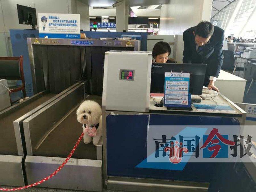 情感辅助犬顺利陪主人坐飞机从广西到北京