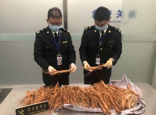 温州机场截获9.4公斤新鲜人参 创查获纪录