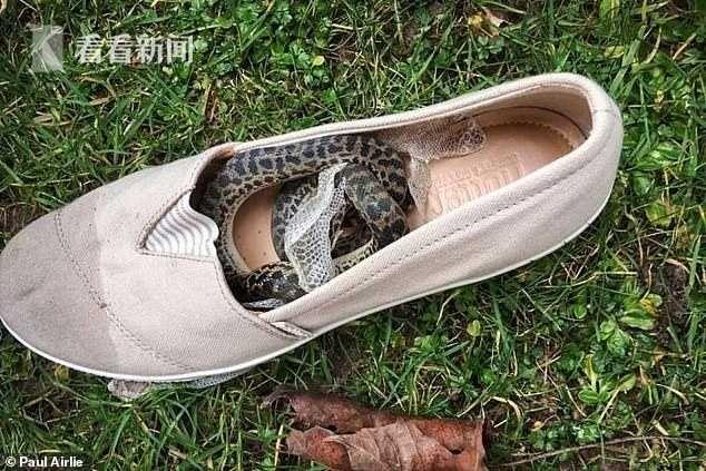 蟒蛇藏鞋内被带上飞机 女子飞万公里才发现吓坏