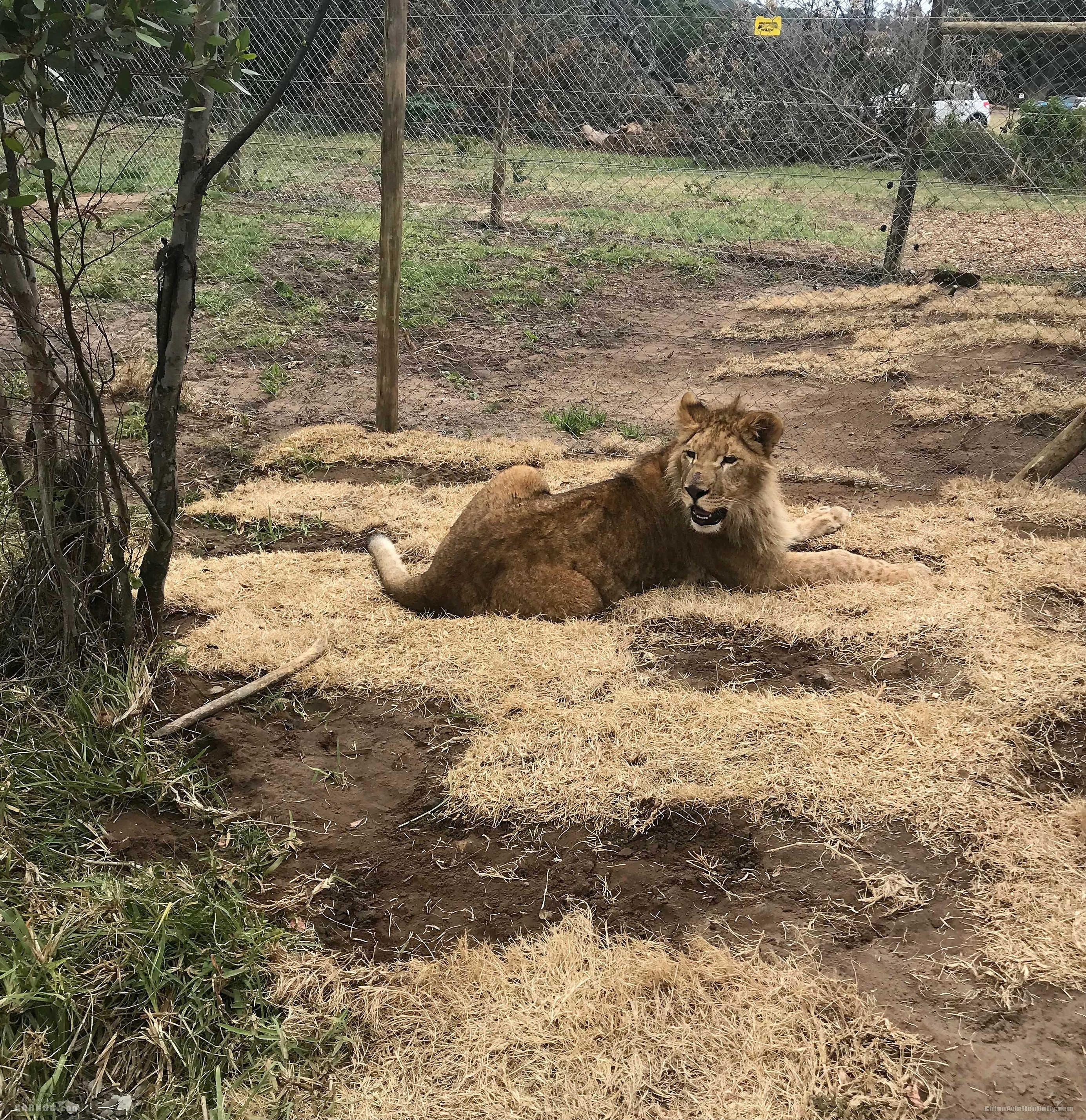 土耳其航空將四只馬戲團獅子送回自然棲息地