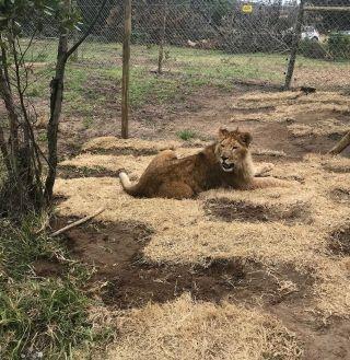 土耳其航空将四只马戏团狮子送回自然栖息地