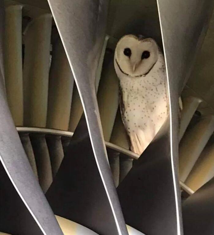 """澳大利亚一猫头鹰躲到飞机引擎里""""打盹"""" 所幸飞行前被发现"""