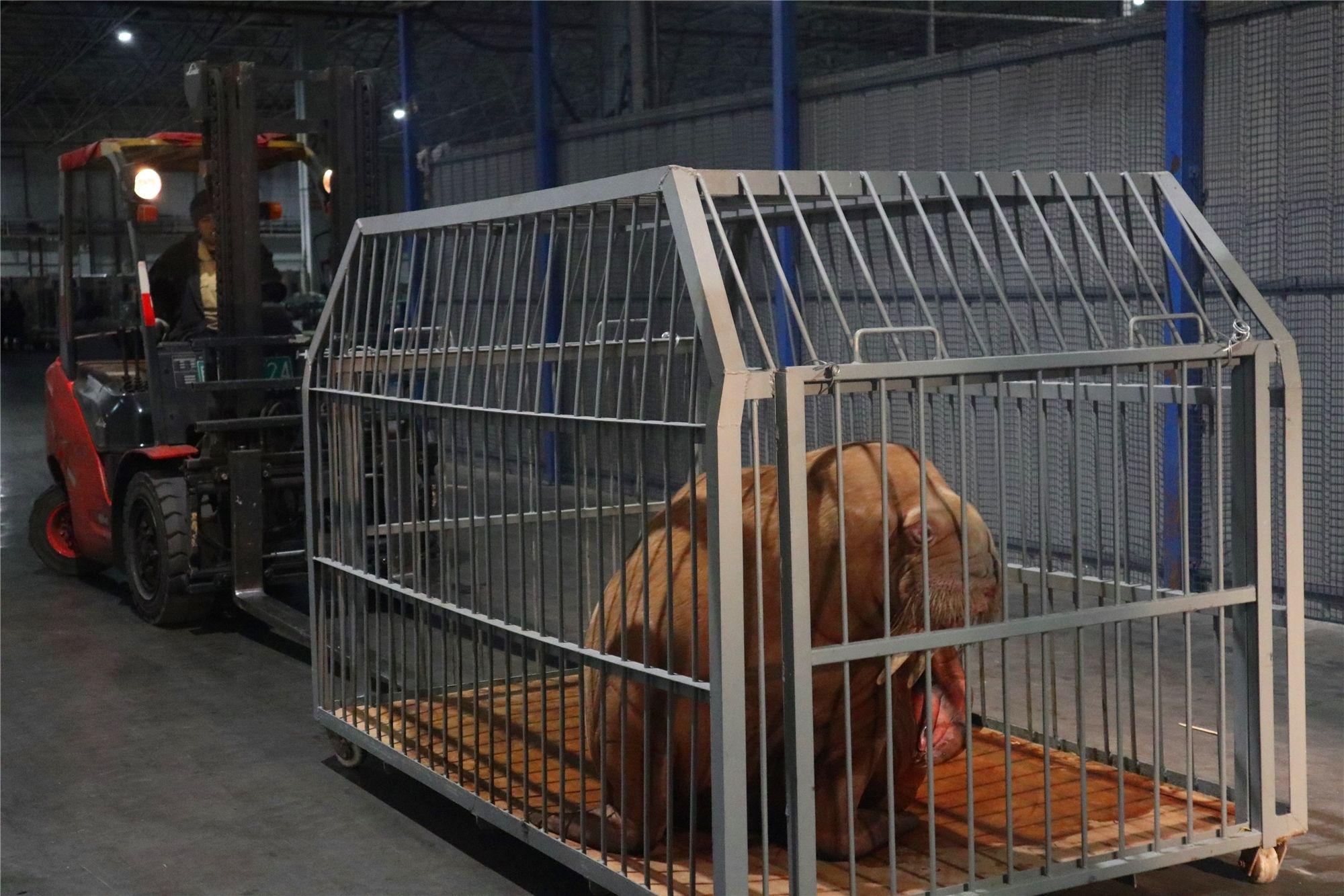 天津货运航空周密组织首次活体动物运输顺利完成